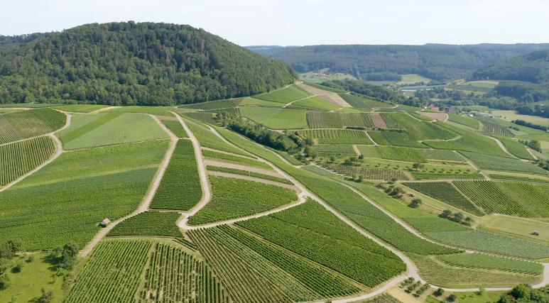 Weinberge in Öhringen